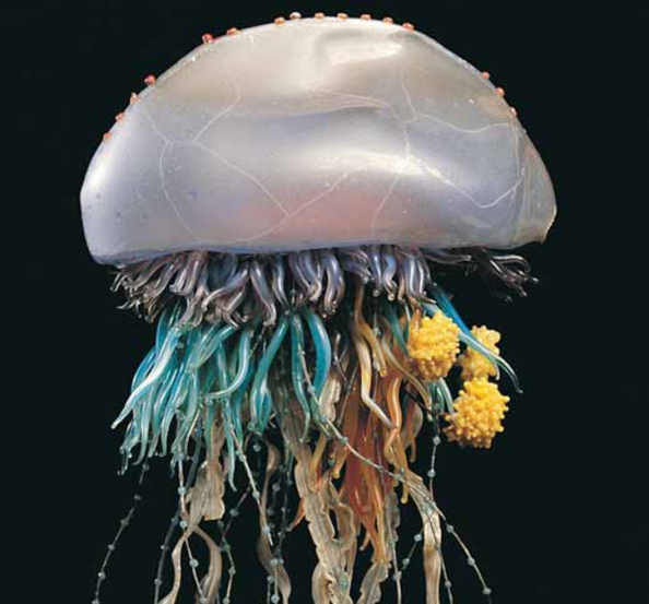 content_c3-Courtesy-of-Museum-of-Wales.-Portuguese-Man-of-War-_Physalia-physalis_.jpg