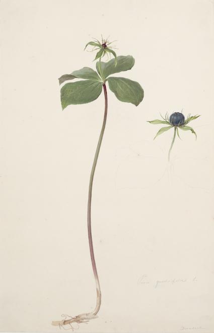 moritzmichaeldaffingerparisquadrifolia.jpg